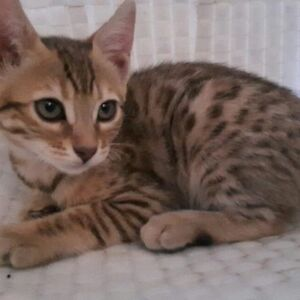 Last 3 bengal kittens available