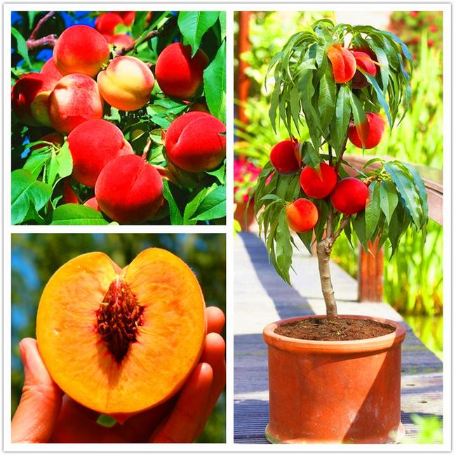 Peach Tree Seeds Sweet Delicious Fruit Bonsai Seeds Dwarf Peach Tree WST