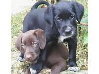 German wirehaired pointer x collie puppies