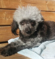 Poodle X puppies for Sale