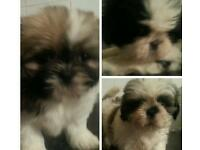 Shih-tuz pups