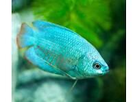 5 Dwarf gouramis fish