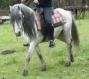 12.2hh Welsh Cob grey gelding Healesville Yarra Ranges Preview