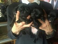 Stunning litter of jug puppies