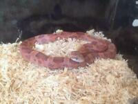 Female classic corn snake