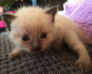 Beautiful Siamese chocolate point kitten looking for a home! Peterborough Peterborough Area image 3