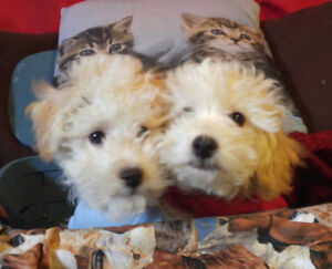 Adorable Bichon Frise puppies Ready now