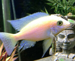 FISH - 2  SUNSHINE DRAGON BLOOD PEACOCK CICHLIDS -REDUCED