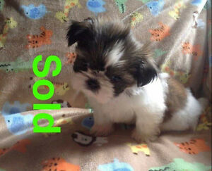 Pure small Shih tzu ( twin males ) and one girl all black