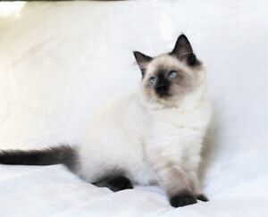 Ragdoll Female kittens are available for  adoption