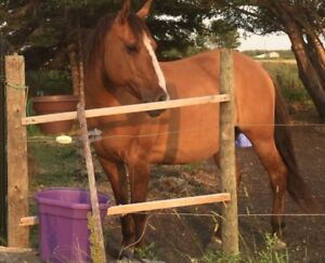 Dun QH - Well broke safe trail horse - 14 yrs old; 14.2hh