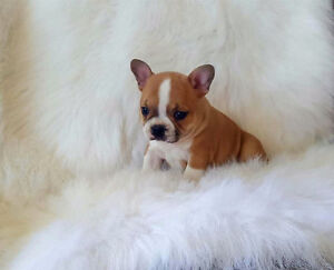 Frenchton Puppies (French Bulldog X Boston Terrier)