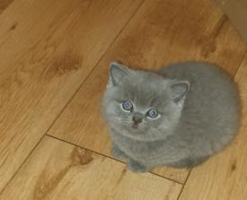 British shorthair kittens.All kittens reserved