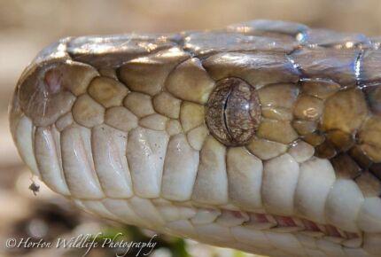 scrub python. Gawler Gawler Area Preview