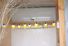 Gouldian Finches Lismore Area Preview