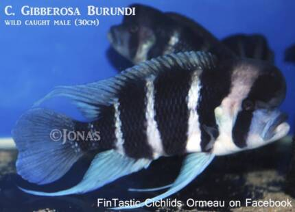 Frontosa......top quality fish after wild caught parents Ormeau Gold Coast North Preview