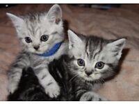Whiskas British Shorthair Silver Tabby Kittens Ready December