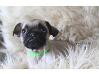 French Bulldog x Pug (Frug) Last Boy