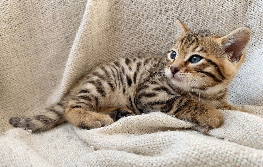Stunning Female Full Bengal Kitten Brown Rosetta Spotted For Sale Only 450 Ready Now In Wolverhampton West Midlands Gumtree