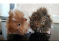 Bonded pair of boars