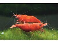 20x Neocaridina Red Cherry Shrimp, Freshwater, Easy aquarium shrimp.