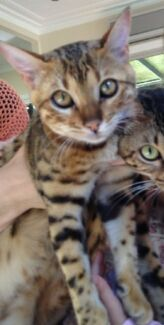 LOST Bengal Cat - Much loved very special family & childrens pet Brisbane City Brisbane North West Preview