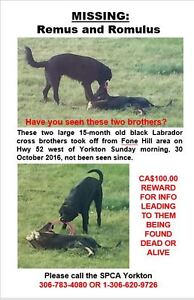 Two black labrador cross neatered male dogs