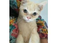 persian cross ragdoll kitten