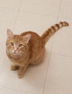"""Young Male Cat - Domestic Short Hair: """"Goodyear"""""""