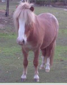 Pony Gelding 10H Palouse-quiet-healthy-lovely nature Cooroibah Noosa Area Preview