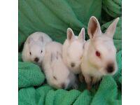 Baby girl dwarf rabbits