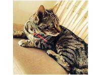 Bengal cat female for sale