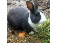 Blue Dutch rabbit