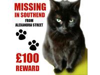 Missing Black Cat SS1 - Kiwi - £100 REWARD! Lost from Alexandra Street, Southend-on-Sea, Essex