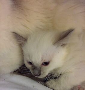 Hypoallergenic..Balinese kittens. Lilac point.  For sell.