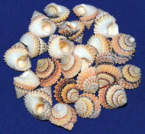 "Tectarius Coronatus Prickly Winkle Shell 1/2""-3/4""~ Craft Seashells~ 10 Shells"