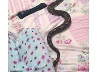 Beautiful Royal Python