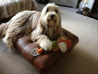 Bearded collie, sandy brown male, answers to bradley, Cardiff not Abergavenny