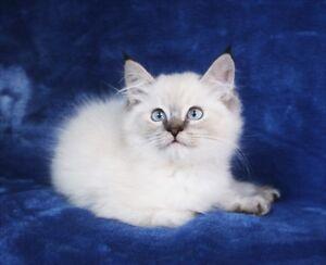 Ragdoll Lynx Point Kitten for Adoption