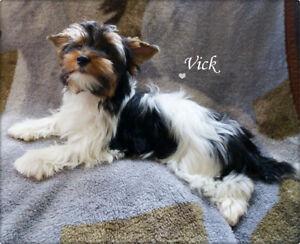 Registered Male  Biewer Yorkshire Terrier Puppy