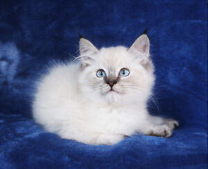 Color Point Ragdoll Kittens for Rehoming