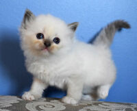 Tica Registered Ragdoll Kittens-Males and Females