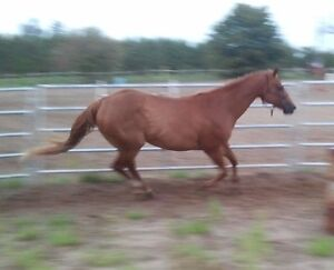 "Gorgeous 15"" hand QTR Horse available for Coboard Cambridge Kitchener Area image 10"
