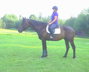 17.1 hh 2011 Canadian SPORTHORSE GELDING