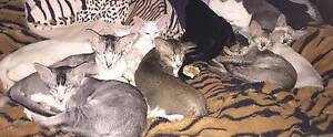 Oriental and Siamese Kittens Available from Registered Breeder Roseworthy Gawler Area Preview