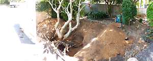 50 year old yellow/white franjapani tree Erina Gosford Area Preview