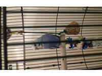 Female Budgie and large cage
