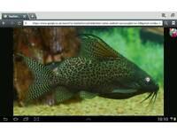 Featherfin catfish