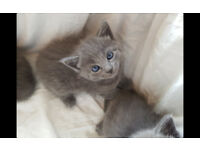 Russian Blue Kittens Ready for New Homes