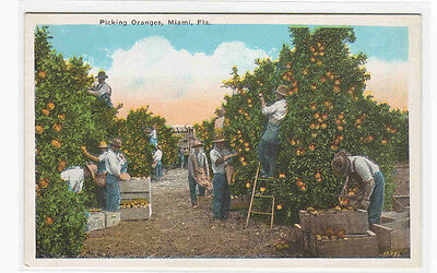 Picking Oranges Grove Orchard Florida 1920C Postcard